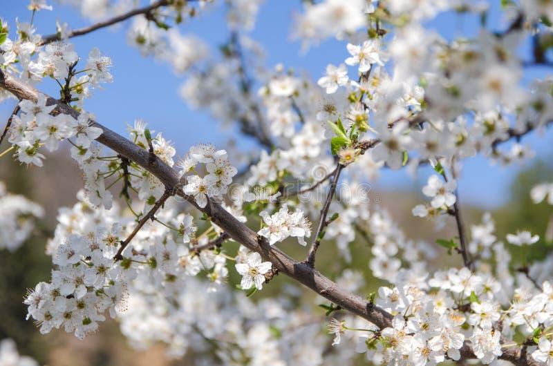 樱花在庭院里 免版税库存照片