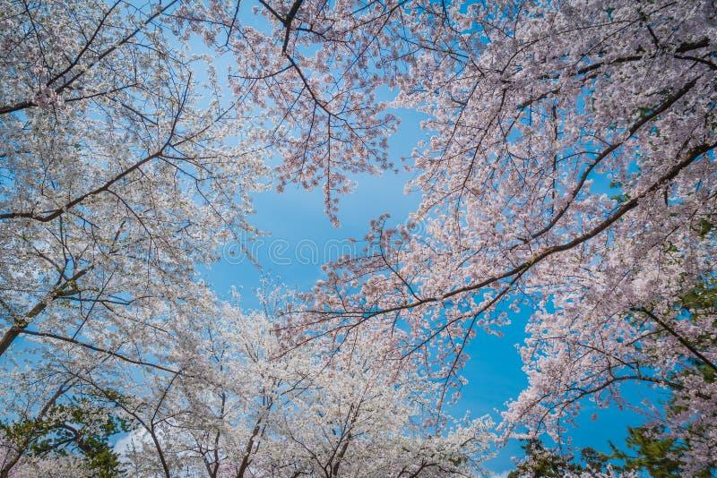 樱花在弘前城堡的春天 免版税库存图片