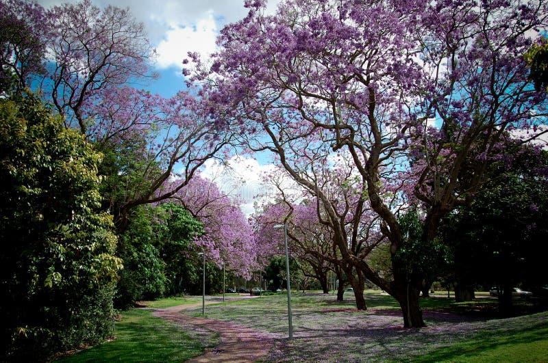 樱花在昆士兰大学校园里 库存照片