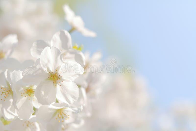 樱花在蓝天下在日本 免版税库存图片