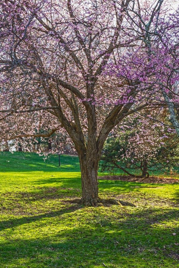 樱花庇荫树 库存图片
