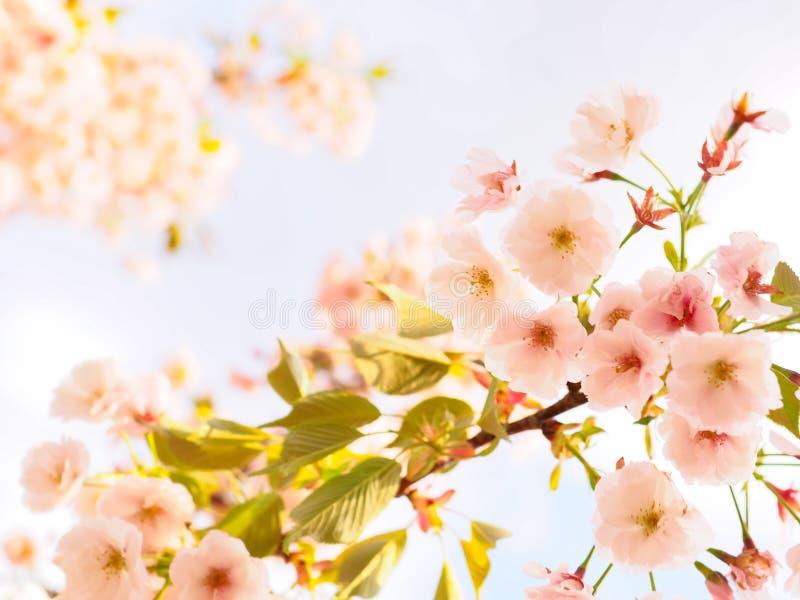樱花开花在日本的春季的佐仓 免版税图库摄影