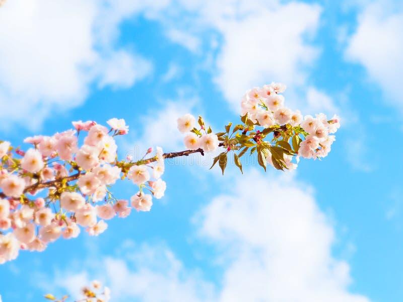 樱花开花在日本的春季的佐仓 免版税库存照片