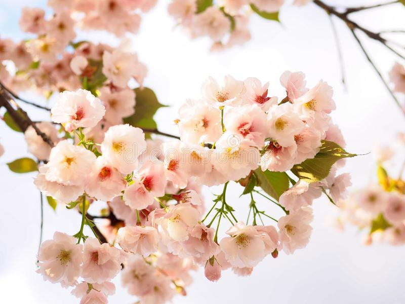 樱花开花在日本的春季的佐仓 免版税库存图片