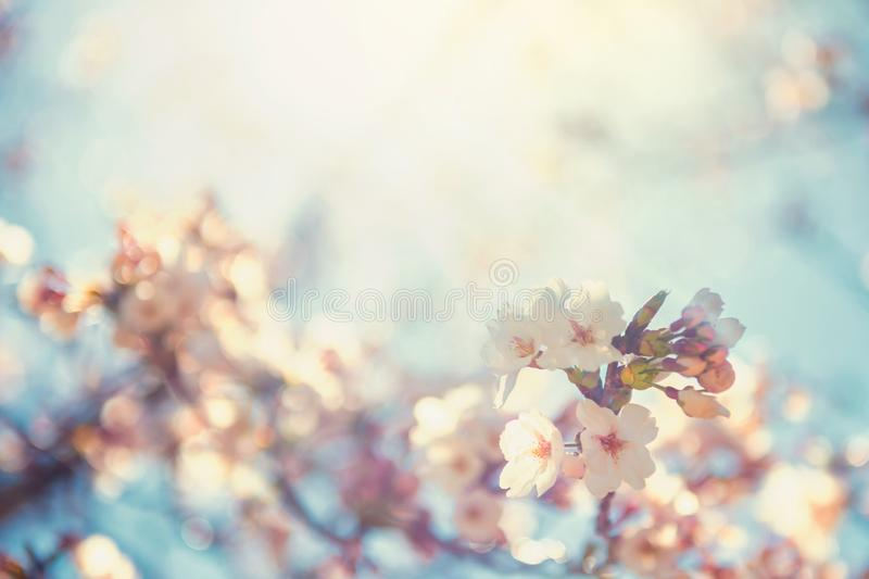 樱花或佐仓反对太阳光 库存图片