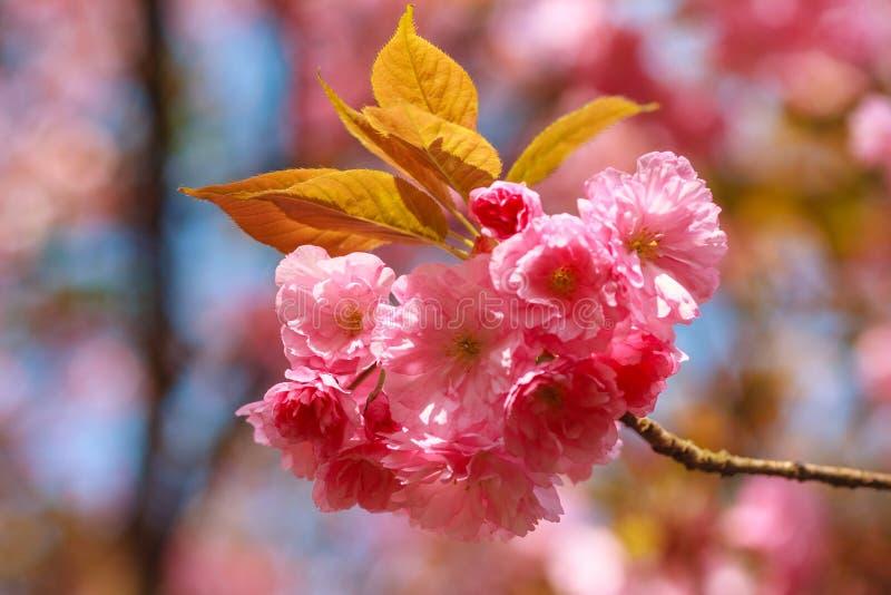 樱花或佐仓花特写镜头春天 美丽的桃红色花 免版税库存照片