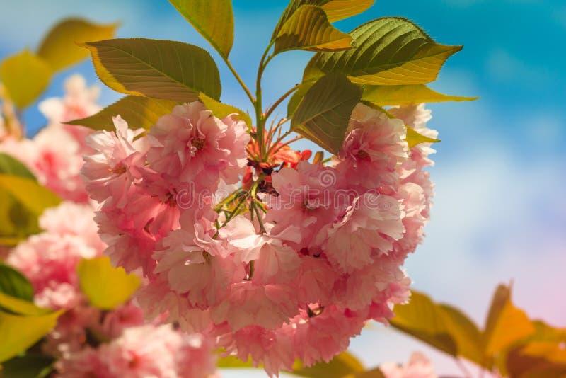 樱花或佐仓花特写镜头春天 美丽的桃红色花 库存照片