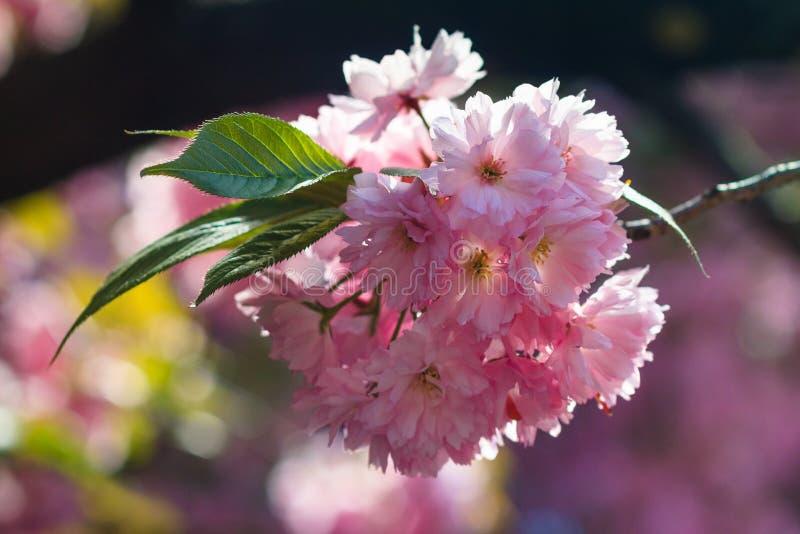 樱花或佐仓花特写镜头春天 美丽的桃红色花 免版税库存图片