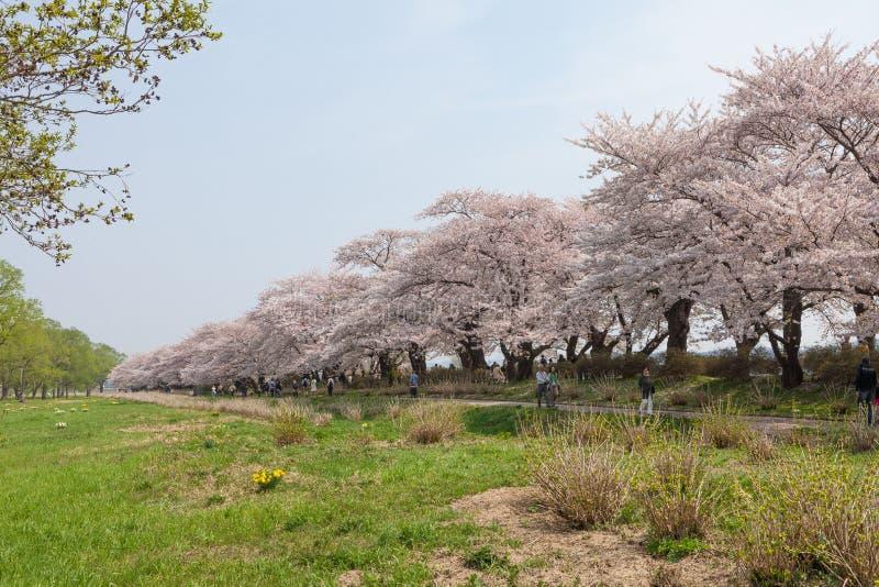 樱花或佐仓在Tenshochi公园,北上市,日本 库存照片