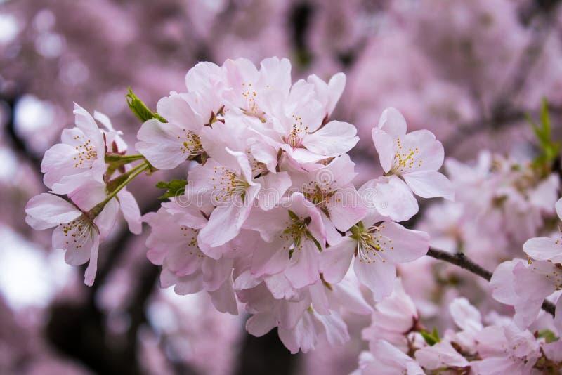 樱花明亮和美好的盛开在春天 免版税库存照片