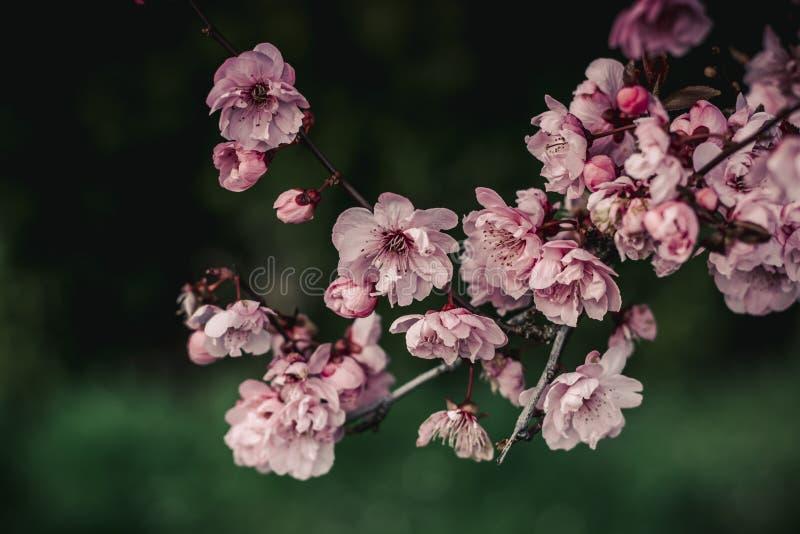 樱花有绿色背景 库存图片