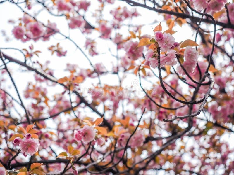 樱花树或李属serrulata充分开花在日本地方公园 库存照片