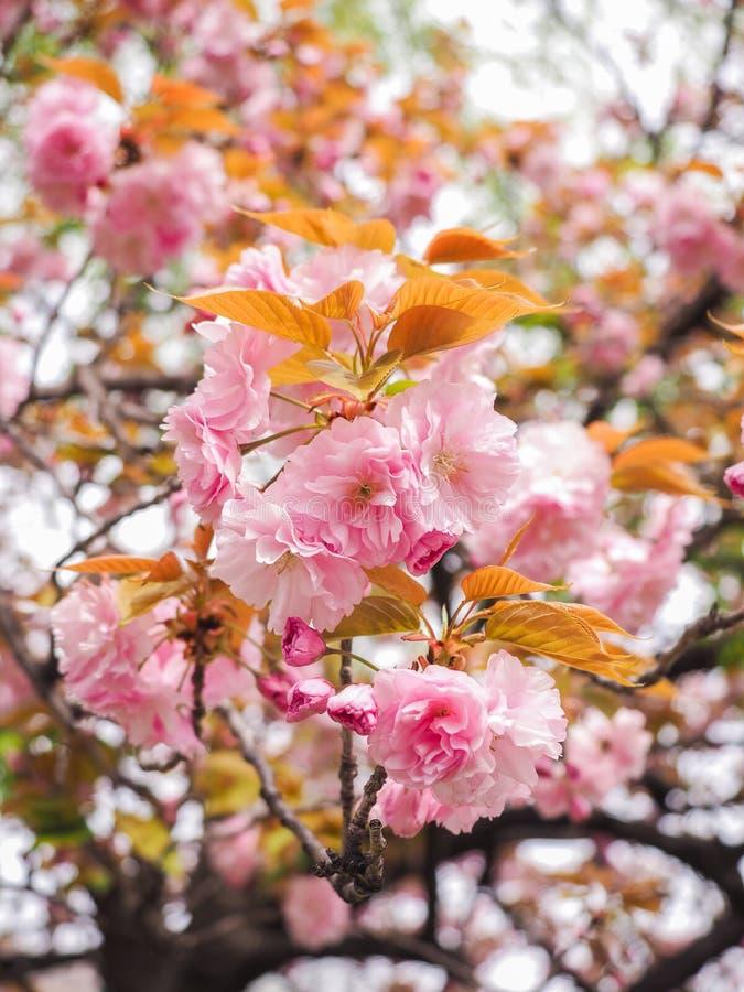 樱花树或李属serrulata充分开花在日本地方公园 图库摄影