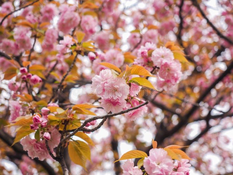 樱花树或李属serrulata (;佐仓 库存图片