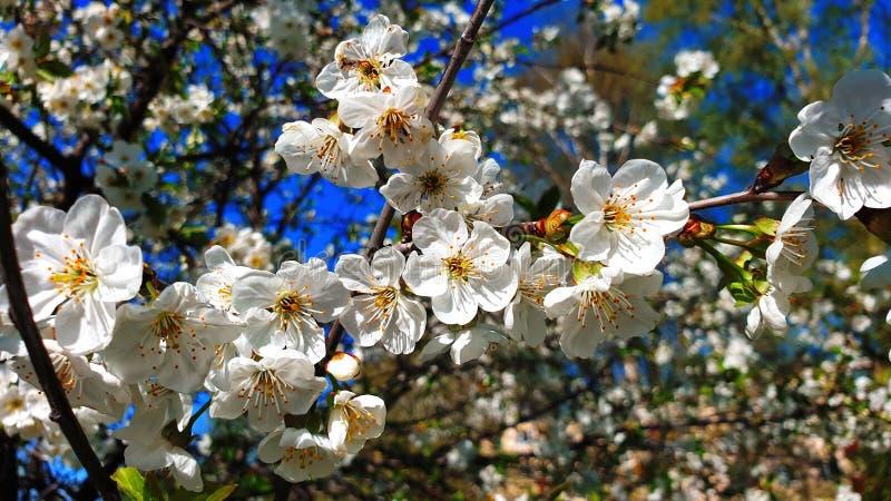 樱花树春天夏天花,但是花卉美好的白色天空蔚蓝自然背景 库存照片