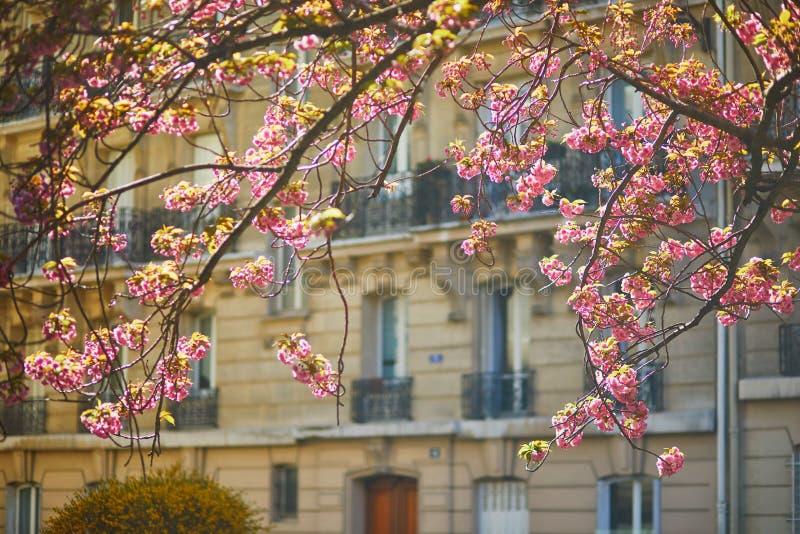 樱花树枝,粉红花 免版税库存图片