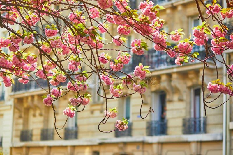 樱花树枝,粉红花 库存图片