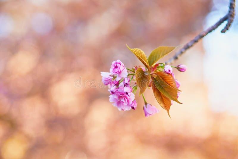 樱花树枝,粉红花 免版税库存照片