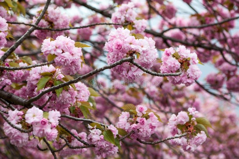 樱花树桃红色花  佐仓特写镜头视图  库存照片