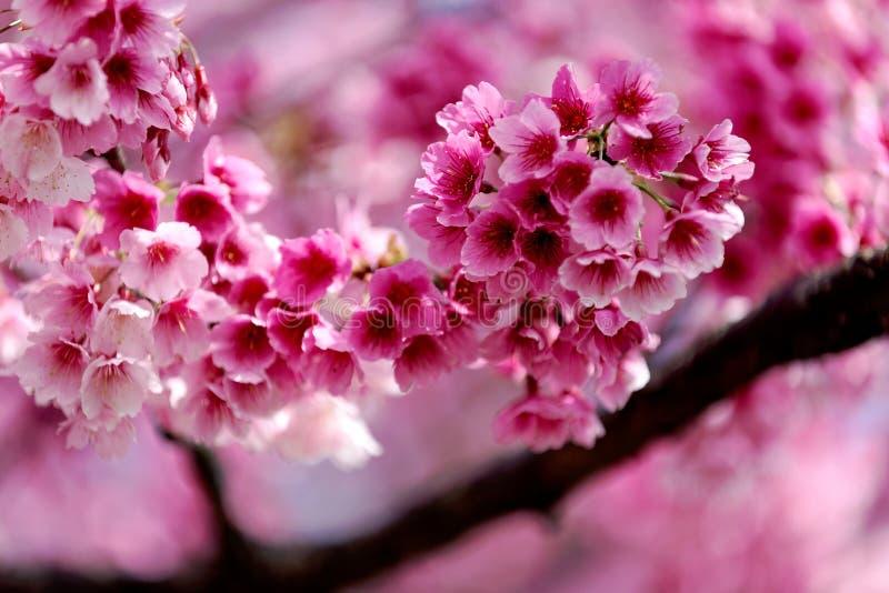 樱花树被弄脏的背景,浅焦点作用的可爱的桃红色佐仓花特写镜头视图  库存照片