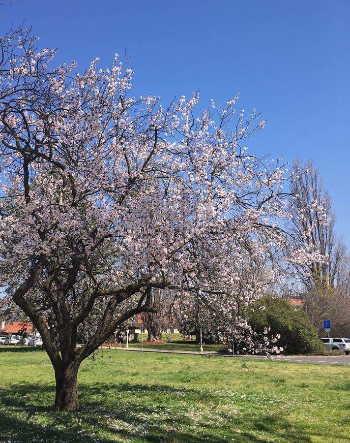 樱花树 免版税图库摄影