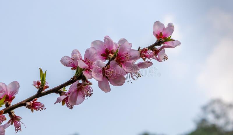 樱花秀丽在春季的 免版税库存图片