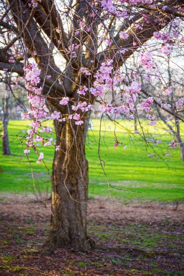 樱花绽放 库存照片