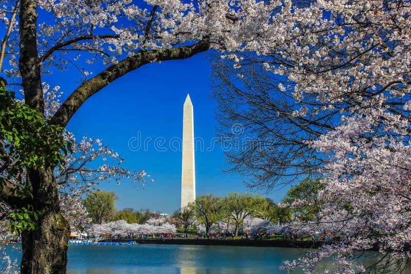 樱花节日-华盛顿纪念碑 库存图片