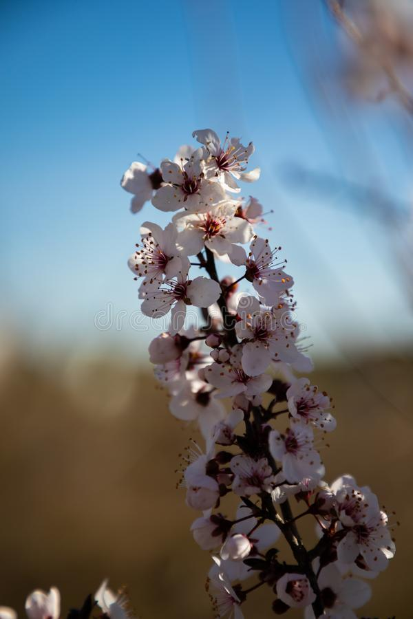 樱花花关闭有被弄脏的背景 图库摄影