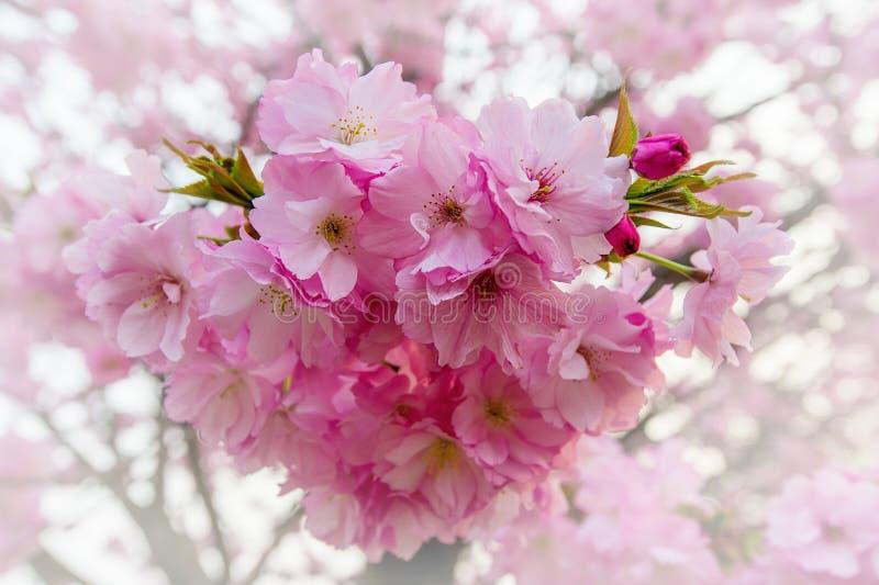 樱花,佐仓季节背景 免版税库存图片