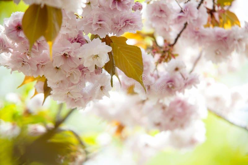 樱花,在开花的桃红色花有好的背景 免版税图库摄影