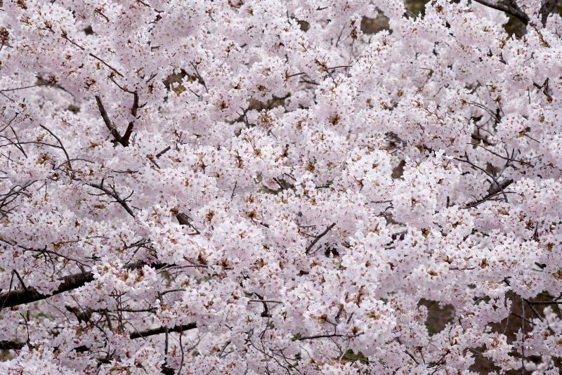 樱花,日文的佐仓,在日本 库存图片
