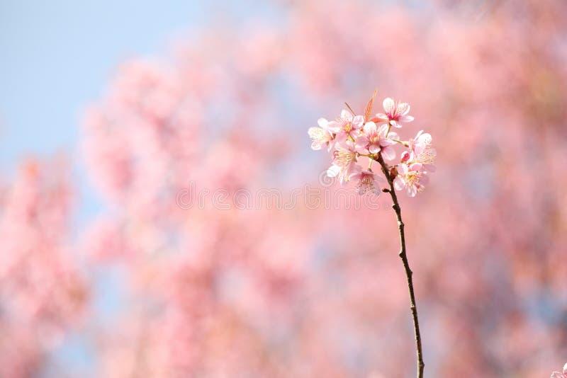 樱花,桃红色佐仓花 库存照片