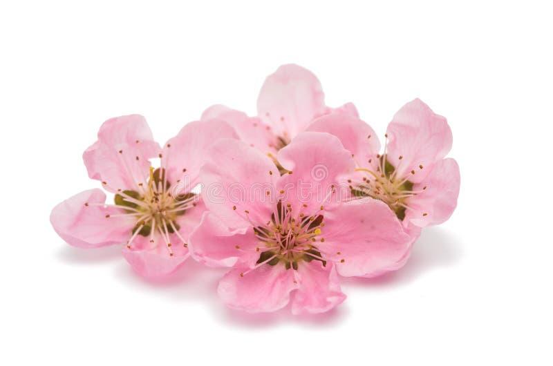 樱花,被隔绝的佐仓花 图库摄影