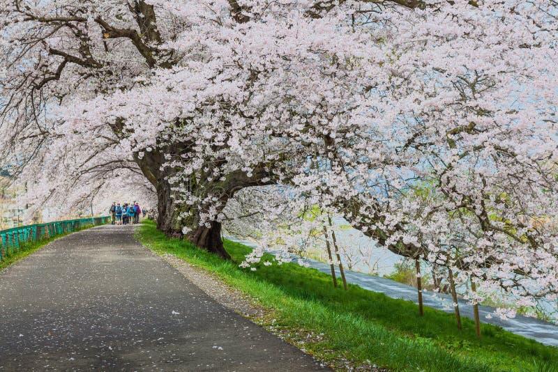 樱花绽放道路,仙台,日本 库存图片