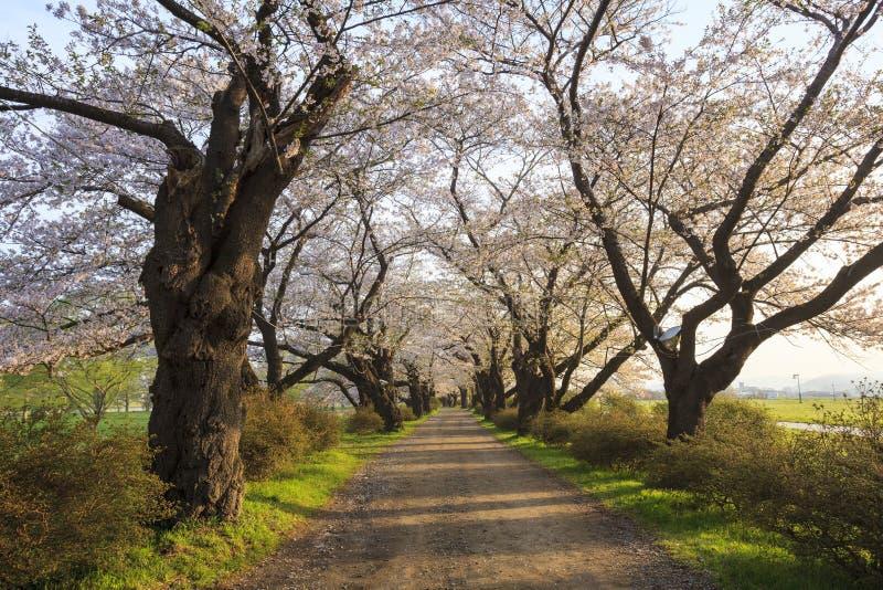 樱花绽放道路 库存照片