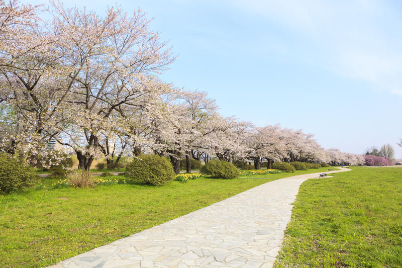 樱花绽放道路 免版税图库摄影