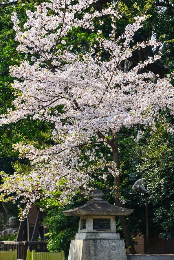 樱花hanami在京都,日本 免版税库存照片