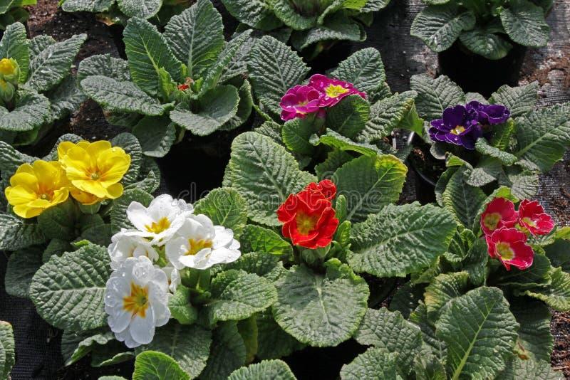 樱草属 与绿色叶子和水下落的春天花红色,黄色,桃红色,紫色,紫罗兰色和蓝色樱草属 看法从上面flo 免版税库存照片