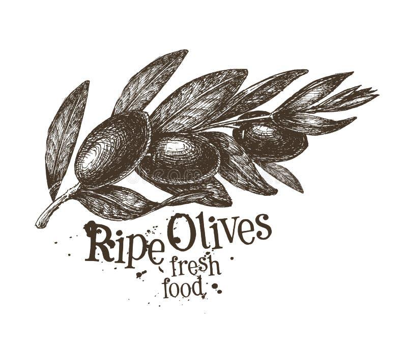 橄榄传染媒介商标设计模板 新鲜水果 皇族释放例证