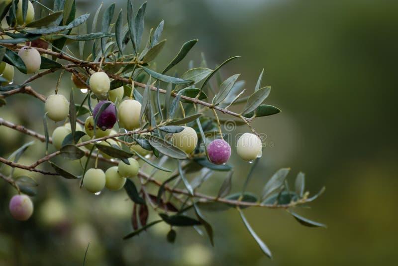橄榄树分支用果子和叶子,自然农业食物背景 免版税图库摄影