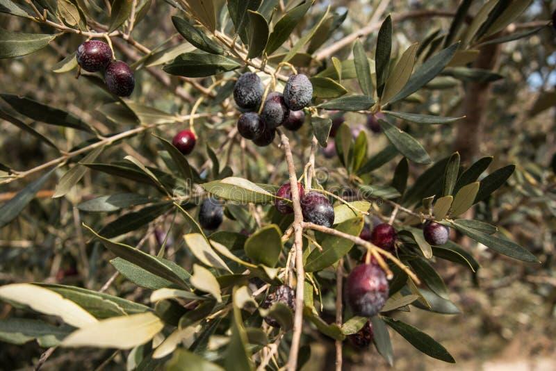 橄榄树分支用橄榄和叶子 图库摄影