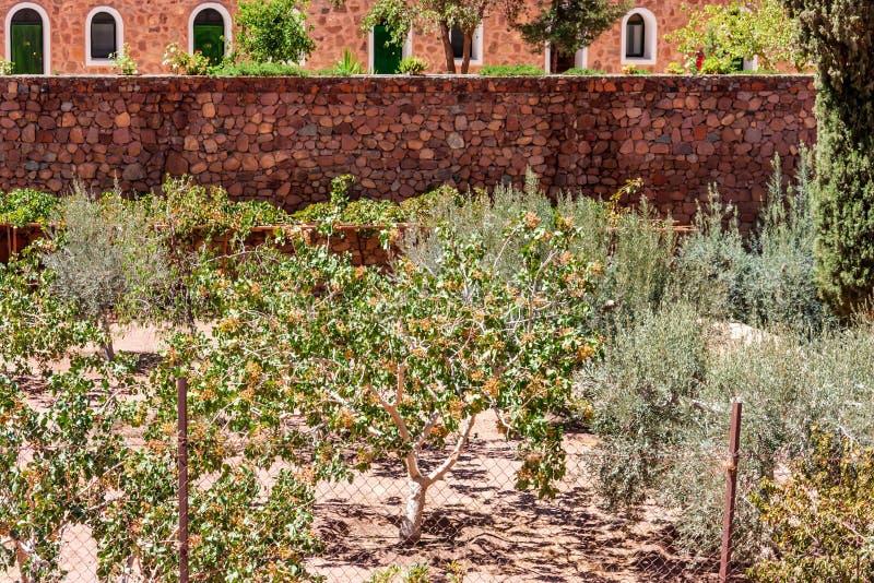 橄榄树在圣徒凯瑟琳` s修道院,埃及里 免版税图库摄影