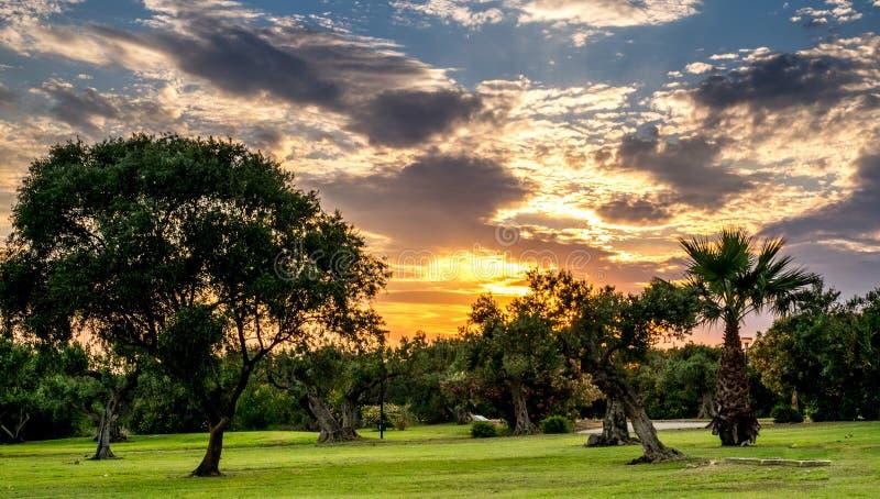 橄榄树在西西里 免版税库存照片