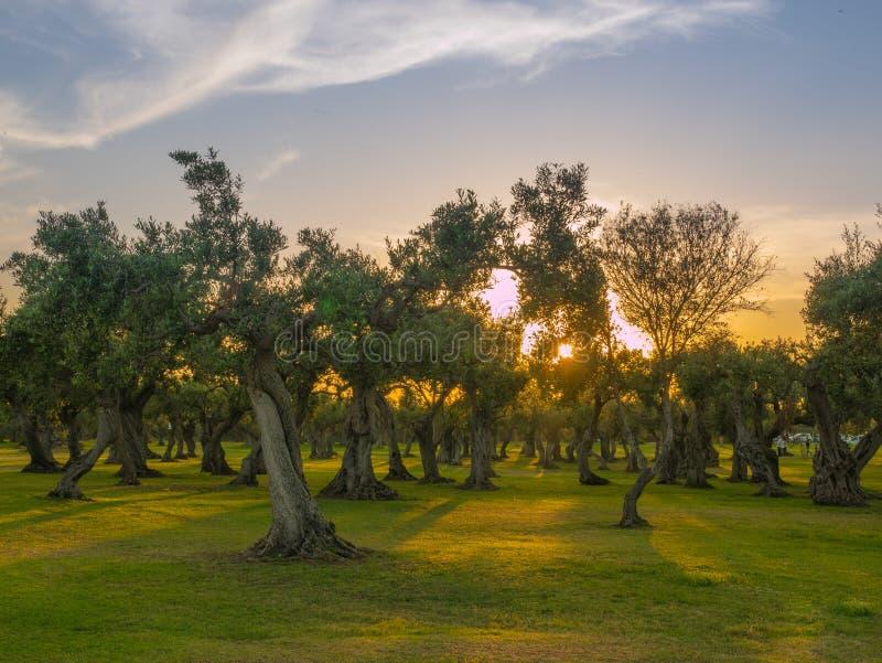 橄榄树在西西里 库存图片