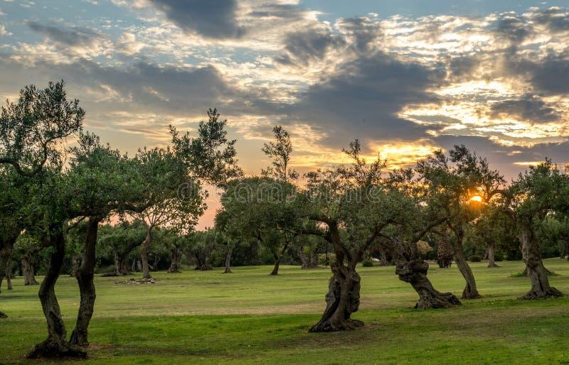 橄榄树在西西里 图库摄影