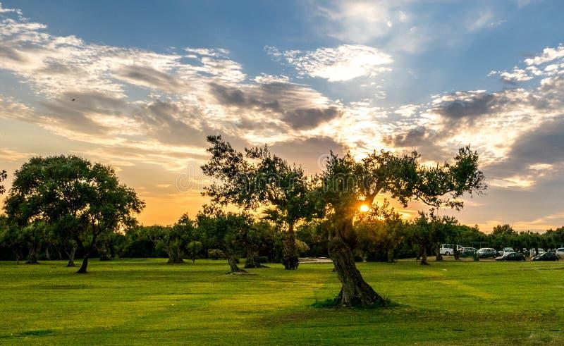 橄榄树在Sicila 免版税图库摄影