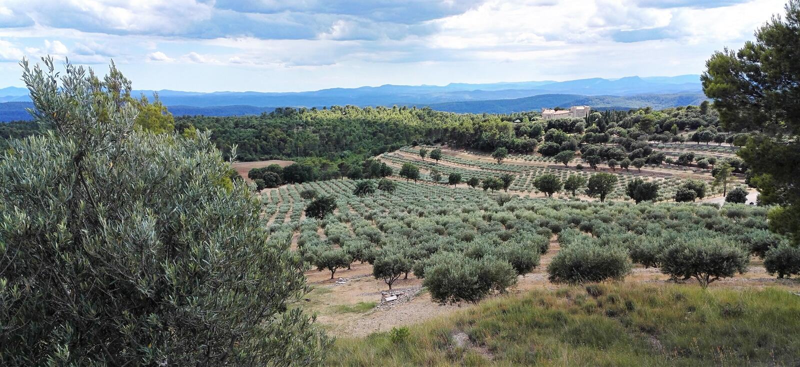 橄榄树小树林在普罗旺斯,在法国南部 免版税库存照片