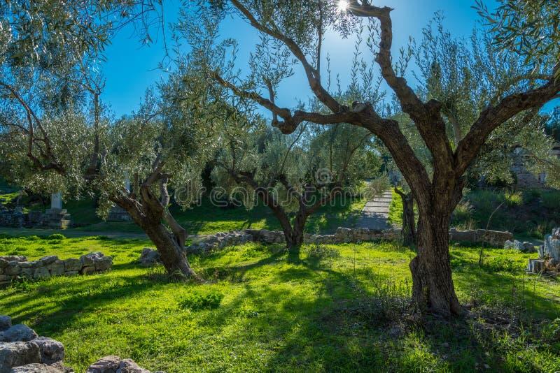橄榄树小树林在雅典希腊Kerameikos  库存图片