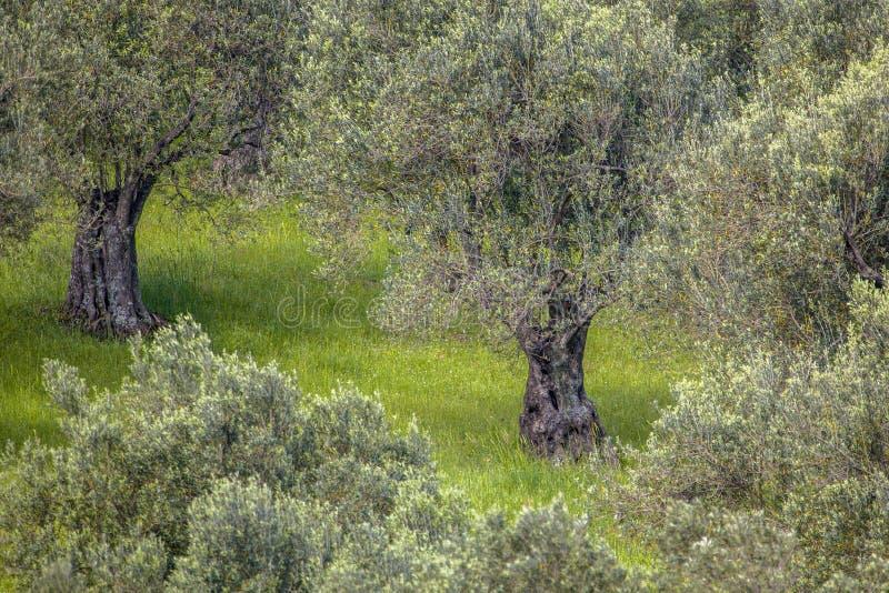 橄榄树小树林的细节 库存照片